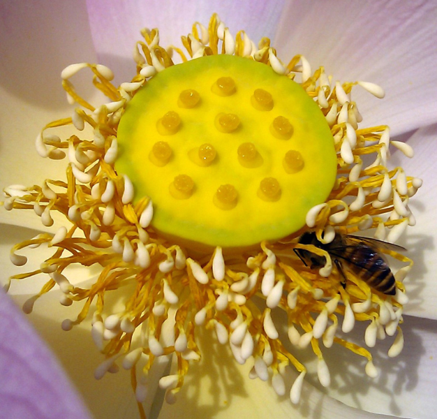 pink-lotus-with-bee-close-up