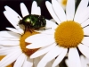 daisy-with-beetle-close-up-1