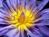mauve-lotus