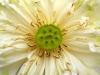 white-lotus-close-up